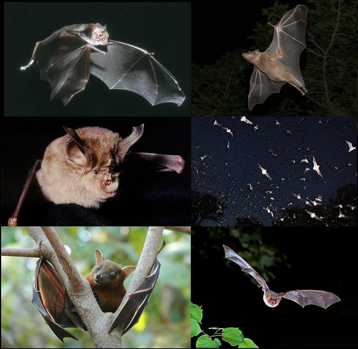 Bat Wikipedia