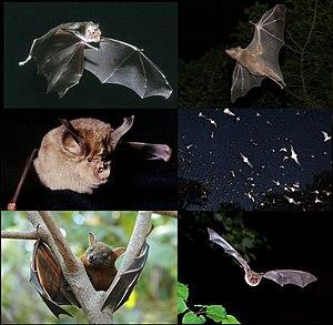 Wikipedia Bats 001 V01 Jpg