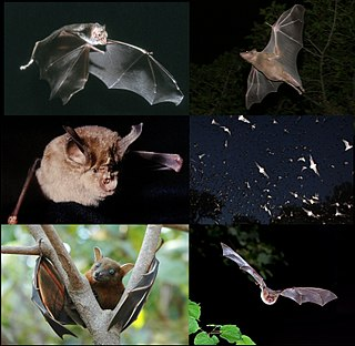 Bat Order of flying mammals