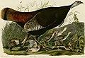 Wild Turkey (Audubon).jpg