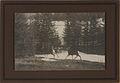 Wild deer, Banff (HS85-10-23788).jpg