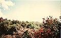 Wild fuchsias.jpg