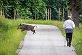 Wildschwein und Wanderer, Nähe Nikolaitor.jpg