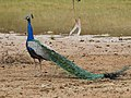 WilpattuNationalPark - February 2018 - Indian peafowl (2).jpg