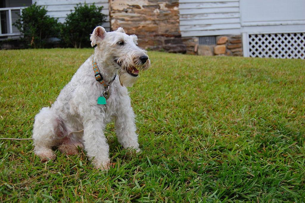 Wire Fox Terrier Sitting