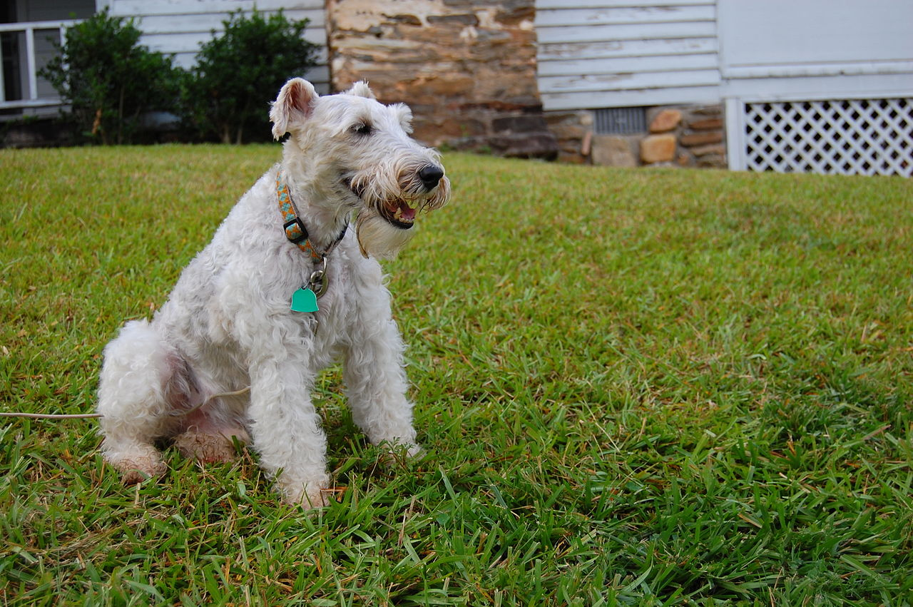 File:Wire Fox Terrier ...