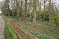 Woodland Daffodils - geograph.org.uk - 755472.jpg