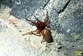 Woodlouse spider (FG) (7400867644).jpg