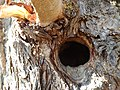 Woodpecker Nest at Rajasthan.jpg