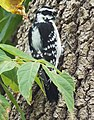 Woodpecker hunting for bugs (29459586413).jpg
