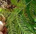 Woodwardia fimbriata 6.jpg