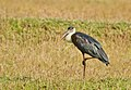 Wooly-necked Stork @ Nilambur.jpg