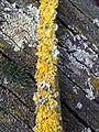 Xanthoria parietina - UK 6.jpg