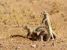 Three cape ground squirrels emerging from a burrow in the Namib Desert