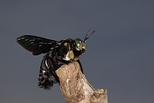 Xylocopa latipes.jpg
