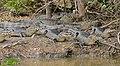 Yacare Caimans (Caiman yacare) (29202594902).jpg