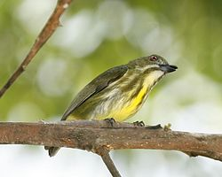 Yellow-breasted Flowerpecker.jpg