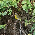 Yellow-breasted chat (36226436603).jpg