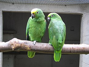 Yellow-crowned Amazon (Amazona ochrocephala) -Pair at Well Place Zoo.jpg