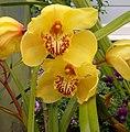 Yellow Orchid Westoe Garden, New Zealand.jpg