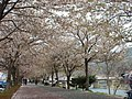 Yocheon River (Namwon), in spring.jpg