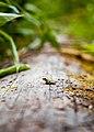 Young Pacific Tree Frog on log.jpg