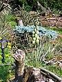 Yucca glauca fh 1178.70 NB in cultur B.jpg
