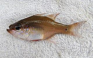 <i>Zoramia fragilis</i> species of Actinopterygii
