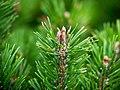 "Zwergkiefer, lat- Pinus mugo ""Mops"".jpg"