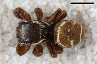 <i>Zygoballus incertus</i> species of arachnid