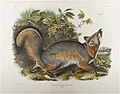 """Canis (Vulpes) Virginianus, Gmel. Grey Fox."" Plate XXI, No. 5 from Viviparous Quadrupeds of North America.jpg"