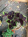 'Giant Exhibition Magma' coleus IMG 0967.jpg