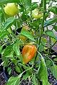 'Gypsy' pepper IMG 6053-.jpg