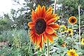 'Harlequin' sunflower IMG 7136--.jpg