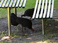(1)brushturkeys Lavender Bay.jpg