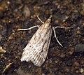 (1336) Eudonia pallida (6227563172).jpg