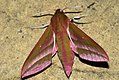 (1991) Elephant Hawk-moth (Deilephila elpenor) (3598198200).jpg