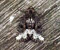 (2337) Marbled Minor (Oligia strigilis) (5734213729).jpg