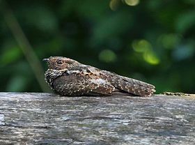 (Hydropsalis nigrescens) or (Nyctipolus nigrescens) - Blackish Nightjar.jpg