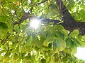 Árbol de hojas panduriformes.jpg