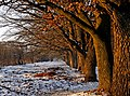 Алея вікових дубів в парку психіатричної лікарні (Вінниця) P1100566.jpg