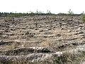 Борозды сосен (NW) - panoramio.jpg