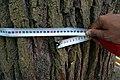 Віковий дуб черещатий DSC 0524.jpg