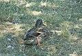 Київ, птахи на Крістеровій гірці 07.jpg
