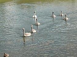 Лебеди на Городищенском озере.jpg