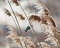 Обыкновенная лазоревка - Cyanistes caeruleus - Eurasian blue tit - Син синигер - Blaumeise (32251320144).jpg