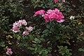 Розы в Кисловодском национальном парке.jpg