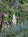Санаторий им. М.В.Фрунзе. Цветущая юкка(Yucca aloifolia).jpg