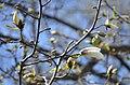 Тернопільські магнолії - Весняний цвіт - 17049693.jpg