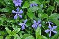 გველის სურო Vinca herbacea Periwinkle.JPG